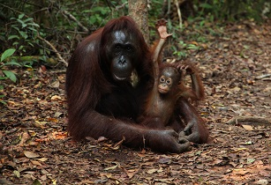 STA Travel witnesses 900% increase in bookings for its Orangutan projects